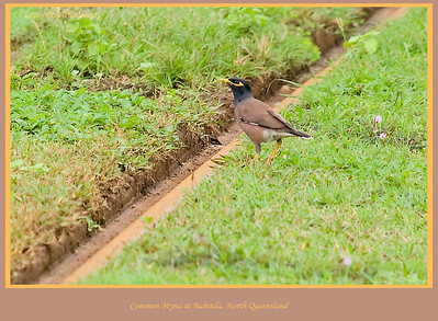 Common Myna or Indian Myna, Acridotheres tristis, sitting on the cane rail at Babinda, North Queensland, Australia.   Photographed July 2010 - © Lesley Bray Photography