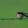 Red-capped Robin (fem)