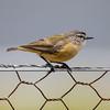 Yellow-rumped Thornbill