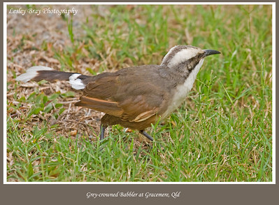Grey-crowned Babbler, Pomatostomus temporalis, at Gracemere, Central Queensland, Australia.  Photographed August 2010 - © 2010 Lesley Bray Photography - All Rights Reserved.   Do not remove my signature from this image. Sharing only with credit please.