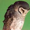 Lesser Sooty Owl (captive)