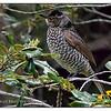 Female Regent Bowerbird