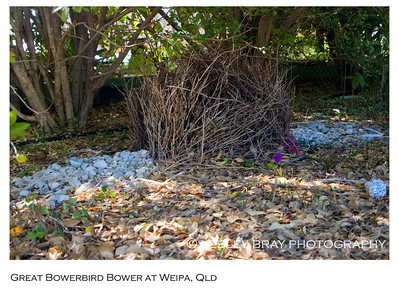 Bower of Great Bowerbird
