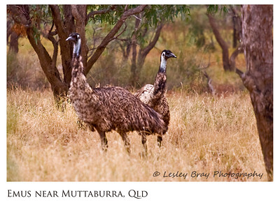 Emus in the Bush