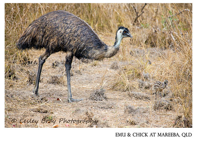 Male Emu & Emu Chick
