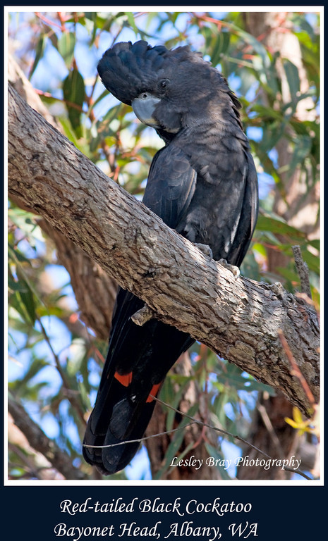 Male Red-tailed Black-cockatoo