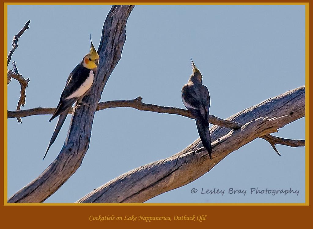 Cockatiels in the Desert