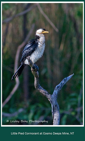 Fluffy Little Pied Cormorant, Microcarbo melanoleucos, watching over the dam at Cosmo Deeps Mine, Douglas Daly, Northern Territory, Australia.  This bird looks really well fed to me.  Photographed December 2012 - © 2012 Lesley Bray Photography - All Rights Reserved.  Do not remove my signature from this image. Sharing only with credit please.