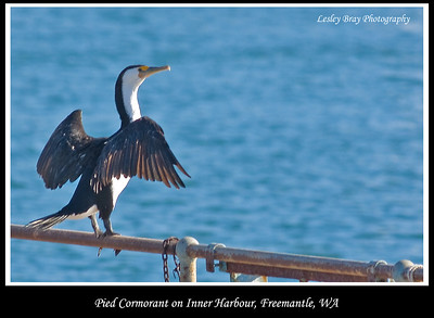 Pied Cormorant, Phalacrocorax varius, watching over the Inner Harbour at Freemantle, Western Australia.  Photographed September 2011 - © 2011 Lesley Bray Photography - All Rights Reserved.  Do not remove my signature from this image. Sharing only with credit please.