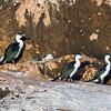Black-faced Cormorant