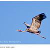 Sarus Crane in Flight
