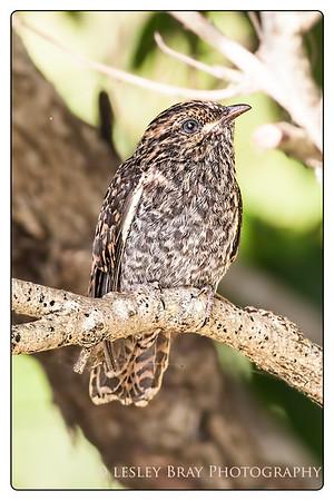 Juvenile Brush Cuckoo