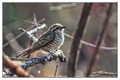 Horsefield's Bronze-Cuckoo