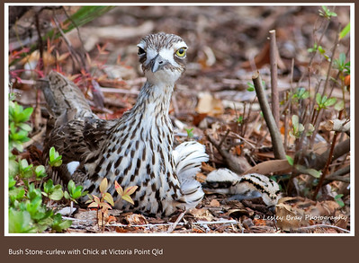 Curlew with New Born Chick
