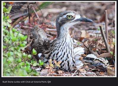 Curlew and Chick