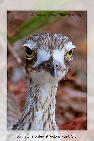 Curlew Portrait