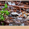 Bush Stone-curlew Chick