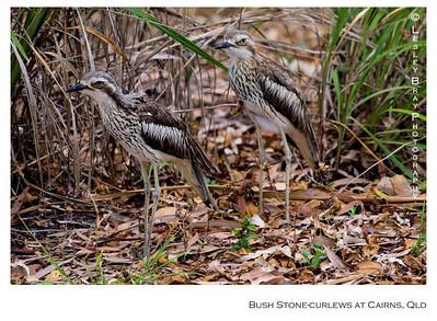 Pair of Bush Stone-curlews