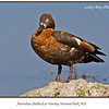 Female Australian Shelduck