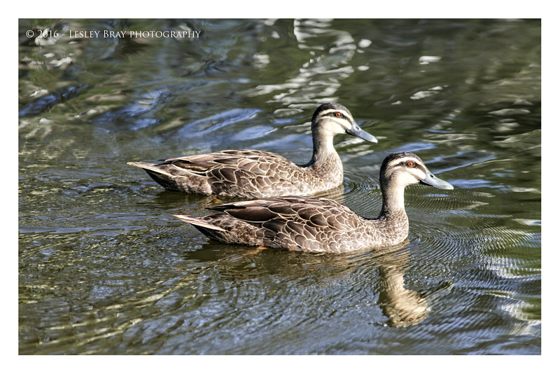 Pacific Black Ducks