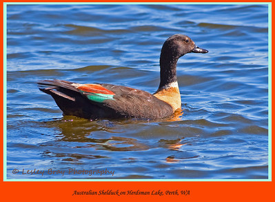 Male Australian Shelduck