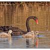 Black Swan & Cygnets