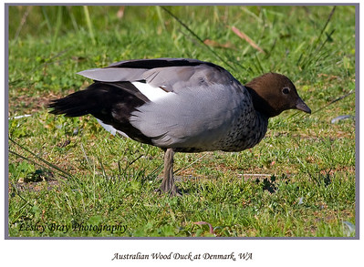 Male Australian Wood Duck