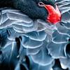 Black Swan (captive)