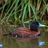 Blue-billed Duck (captive)