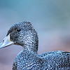 Freckled Duck (captive)