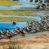 Pink-eared Duck, Chestnut Teal, Grey Teal