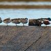 Northern Shoveler, Australasian Shoveler, Pink-eared Duck