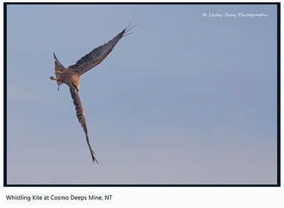 Swooping Whistling Kite