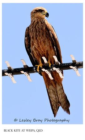 Juvenile Black Kite