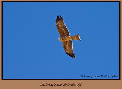 Juvenile Black Kite in Flight