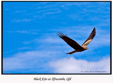 Black Kite, Milvus migrans, at Ilfracombe, Queensland, Australia