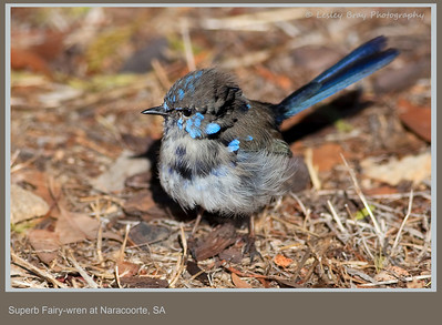Moulting male Superb Fairy-wren, Malurus cyaneus, at Naracoorte, South Australia.  Photographed February 2012 - © 2012 Lesley Bray Photography - All Rights Reserved.  Do not remove my signature from this image. Sharing only with credit please.