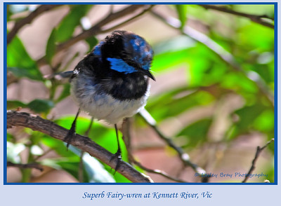 Superb Fairy-wren, Malurus cyaneus, at Kennett River, Victoria, Australia.  Photographed February 2012 - © 2012 Lesley Bray Photography - All Rights Reserved.  Do not remove my signature from this image. Sharing only with credit please.
