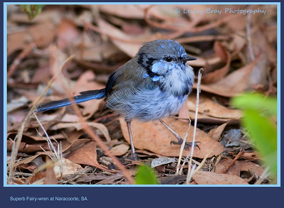Moulting Male Superb Fairy-wren