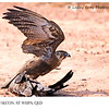 Brown Falcon