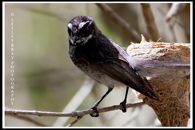 Grey Fantail with Nest