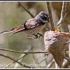 Grey Fantail with Chicks