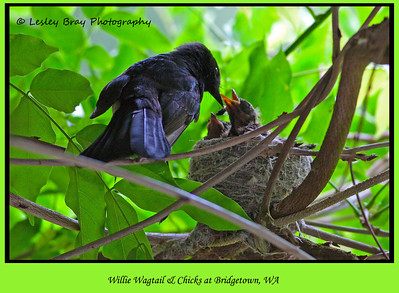 Willie Wagtail with Chicks in Nest