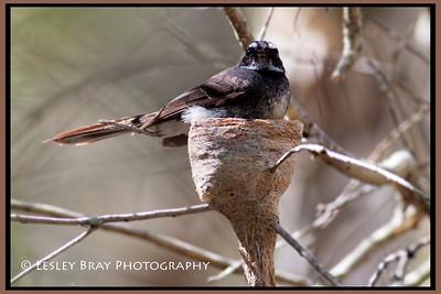 Grey Fantail on Nest