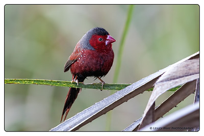 Male Crimson Finch