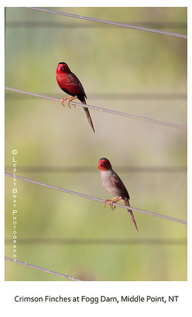 Male & Female Crimson Finches - Black-bellied Form