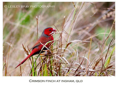 Male Crimson Finch - Black-bellied Form