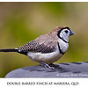 Double-barred Finch - White-rumped Form