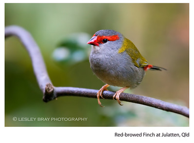Red-browed Finch - Cape York Form