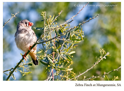 Immature Zebra Finch